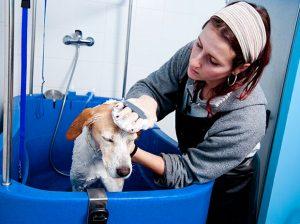 Lavando un perro en una bañera para perros de un lavadero de mascotas AquaDoggy.